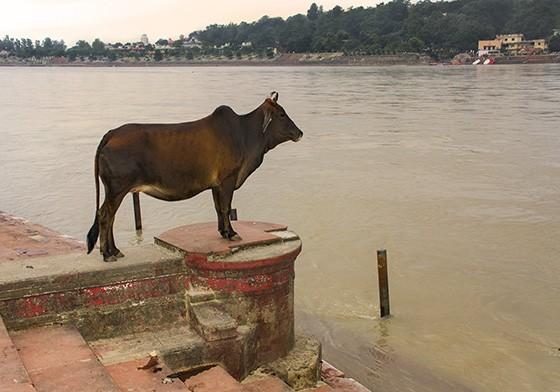 Em Rishikesh, uma vaca – animal considerado sagrado pelo hinduísmo –contempla a passagem das águas do rio Ganges  (Foto: © Haroldo Castro/Época)