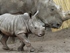 Bebê rinoceronte-branco passeia com a mãe em zoo da Alemanha