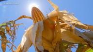 Colheita do milho avança no RS