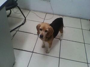 Beagle encontrado na rua foi encaminhado para Sociedade Protetora dos Animais de São Roque (Foto: Divulgação/São Roque Notícias)
