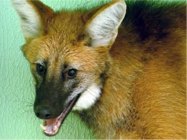 Lobo-guará é capturado no Centro de Varginha, em estacionamento de drogaria (Foto: Reprodução EPTV)