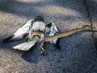 Veja gavião 'derrubado' por cobra e mais histórias curiosas com aves