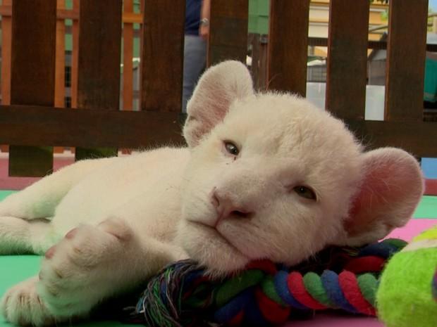 Fantástico mostra leoa branca nascida no Brasil (Foto: Rede Globo)