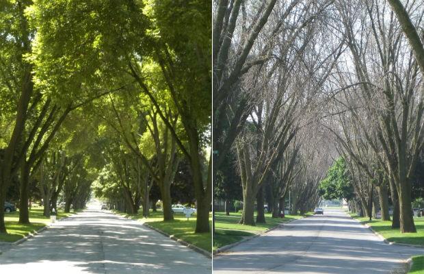 Estudo associa perda de árvores a doenças cardiovasculares e respiratórias (Foto: Dan Herms/Ohio State University)