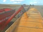 Colheita de milho chega a 155 mil hectares nesta semana em MT