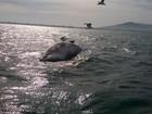 Filhote de baleia é achado morto na praia da Joaquina, em Florianópolis
