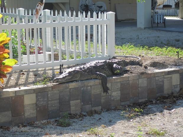Americana acordou e deu de cara com réptil de 3 m no jardim de casa (Foto: Divulgação/Monroe County Sheriff's Office )