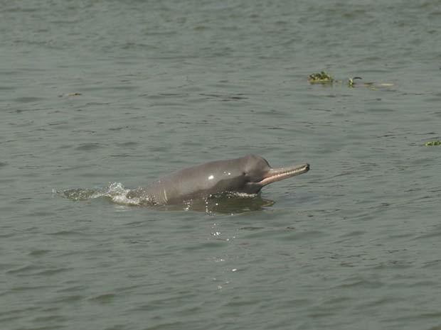 Golfinho do rio Ganges (Foto: ZSL/BBC)