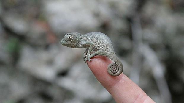 Camaleões bebês são tão pequenos... (Foto: Sam Driscoll/onebigphoto.com)