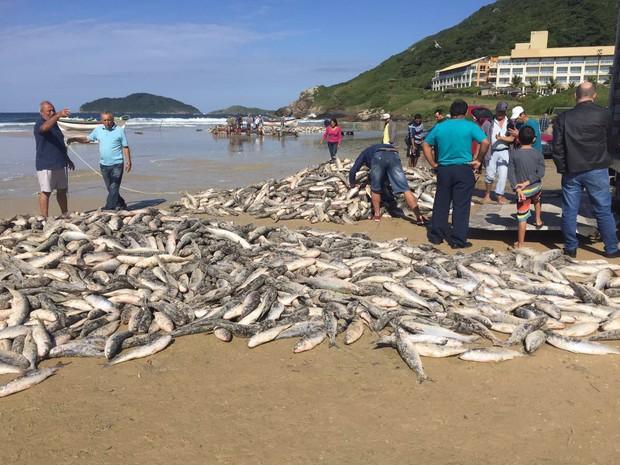 Laço de milhares de tainhas também foi registrado no Santinho nesta quarta (18) (Foto: Márcia Callegaro/G1)