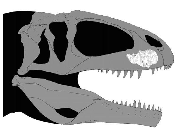 Simulação mostra onde pedaço de fóssil se encaixaria no crânio de exemplar de dinossauro da família dos Carcarodontossauros (Foto: Reprodução/Cretaceous Research)