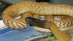 A cobra Inland Taipan envolvida no incidente (Foto: Judith Martin/Reptile Rescue)