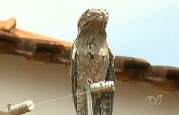 Urutau ficou por várias horas na cerca elétrica de uma residência (Foto: Reprodução TV Anhanguera)