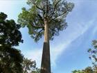 Parque em São Paulo abriga um dos maiores jequitibás do Brasil