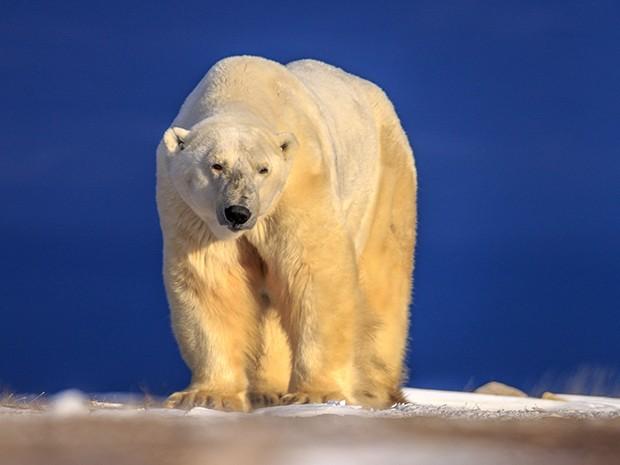 A cidade de Churchill é tomada pelos ursos polares (Foto: Gshow)