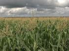 Supersafra de milho é revisada e MT deve ter novo recorde na colheita
