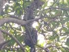 Jaguatirica é encontrada em árvore perto da escola Rio Tapajós
