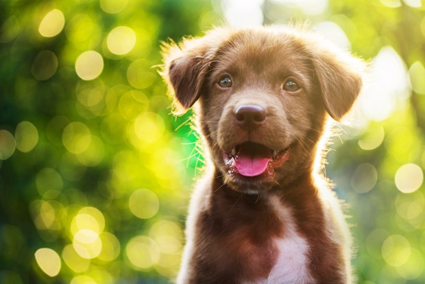 Portrait of brown cute Labrador retriever puppy with sunset bokeh abstract background (Foto: Getty Images/iStockphoto)