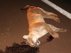 Onça parda tinha quase 65 kg quando foi atropelada (Fot Divulgação/Polícia Militar Ambiental)