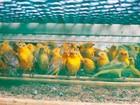 Centenas de pássaros silvestres são apreendidos pela polícia em Ubaitaba
