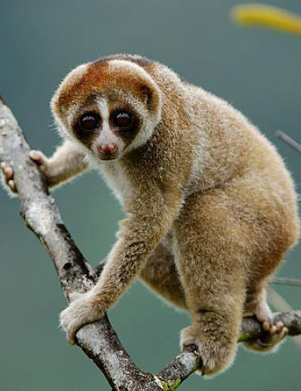 Primata venenoso (Foto: Divulgação/Ch'ien Lee)