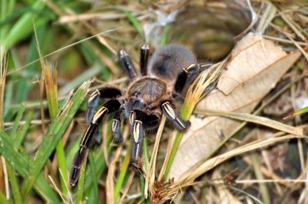 Essa aranha vive em florestas tropicais e até em regiões áridas (Foto: Ciro Porto / TG)