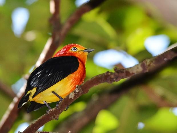 Uirapuru Laranja (Foto: Clóvis Cruvinel/Arquivo Pessoal)