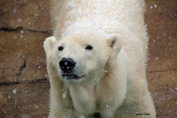 Ursa polar Geebee, de 29 anos, morreu neste domingo (12) em Johannesburgo (Fot Lorna Fuller/Johannesburg City Parks and Zoo)