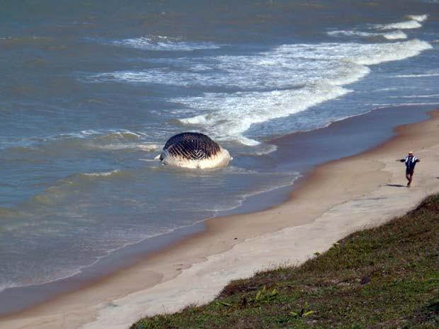 Baleia encalha no litoral do Rio Grande do Norte 2 (Foto: Maurício Kosima/Cedida)