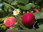 Agricultores de SP reduzem uso de agrotóxico em lavouras de morango