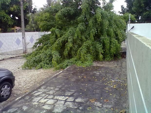 Árvore caiu após fortes chuvas na manhã desta sexta-feira (30) (Foto: Leandro Matias de Araújo)