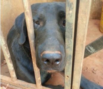 Labrador encontrado com sinais de maus tratos em depósito no Riacho Fundo, no DF (Foto: Carolina Mourão/Arquivo Pessoal)