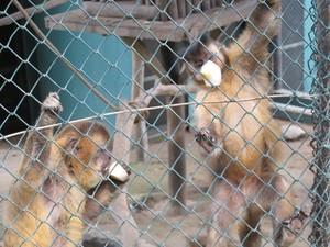 Macacos-prego tomam 'sorvete' de banana (Foto: Mariane Rossi/G1)