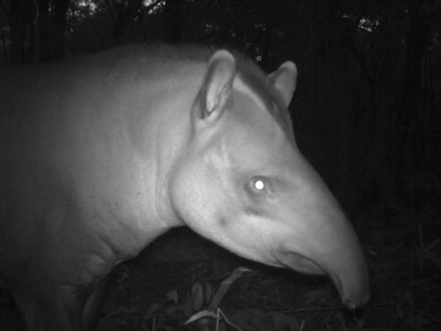 Anta também está entre animais em extinção que foram redescobertos por pesquisa da USP de Ribeirão Preto (Foto: Reprodução/Projeto ocupação da paisagem do nordeste de São Paulo)