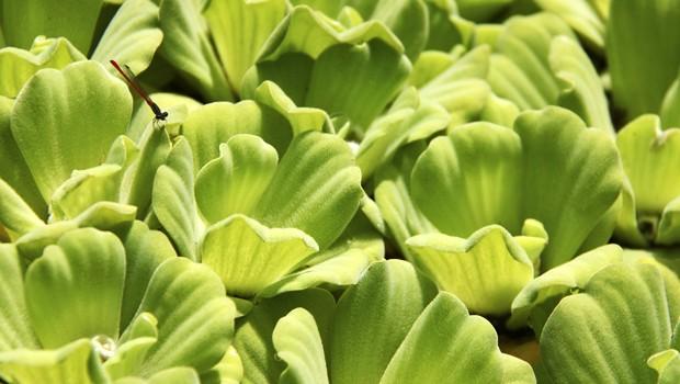 Herbácea flutuante possui folhas aveludadas e tom inconfundível (Foto: Mário Gomes / TG)