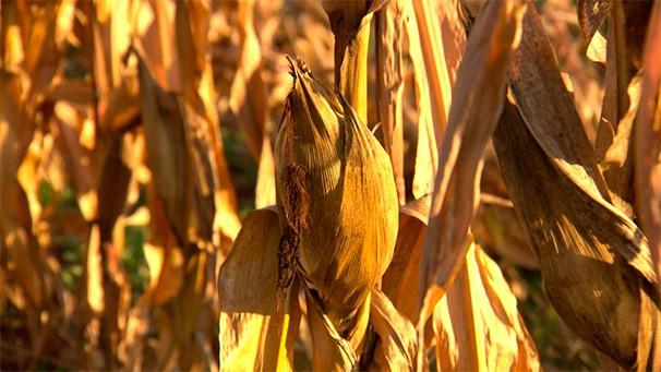Milho safrinha: tempo seco, no período de formação do grão, influenciou na qualidade (Foto: Reprodução TV Fronteira)