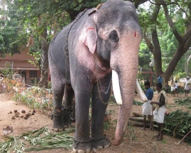 'Raman' seria o primeiro elefante acusado de assassinato na Índia (Foto: Reprodução)