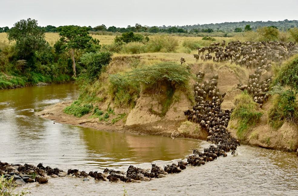 Todos os anos, centenas de gnus e outros animais fazem a travessia do rio durante migração anual (Foto: Carl de Souza/AFP)