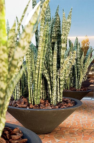 Em cada vaso triangular há espaço de sobra para posicionar nove maços de espada-de-são-jorge, distanciados de 15 cm a 18 cm entre si (Foto: Arquivo Casa e Jardim)