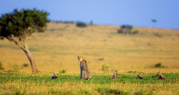 Mãe Guepardo com seus quatro filhotes, no Quênia (Foto: João Paulo Krajewski)