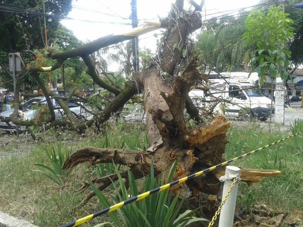 A árvore caiu na praça 1º de maio no Centro de Ipatinga. (Foto: Fernanda Pônzio / Inter TV dos Vales )