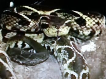 Cobra mãe tem aproximadamente 3 anos de idade (Foto: Reprodução / RPCTV Cascavel)