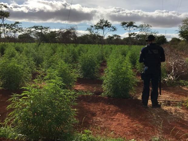 Roça de maconha foi descoberta no município de Cafarnaum, na Bahia (Foto: Divulgação/SSP-BA)