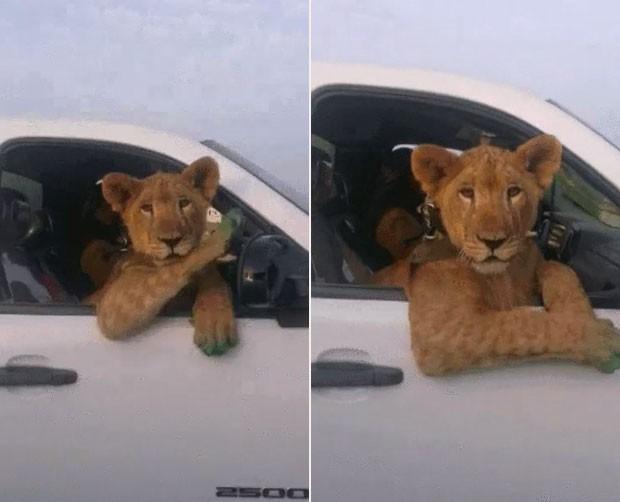 Motorista foi flagrado dirigindo enquanto levava leoa no banco de passageiro (Foto: Reprodução/Imgur)