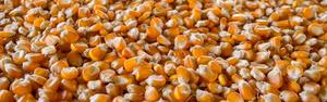 Preço do milho deve seguir forte até março do ano que vem