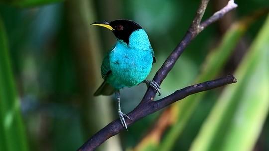 Saí-verde é ave calada que fixa o ninho com teias de aranha