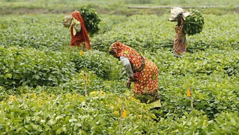 agricultura_india_lavoura (Foto: Albari Rosa/Agronegócio Gazeta do Povo)