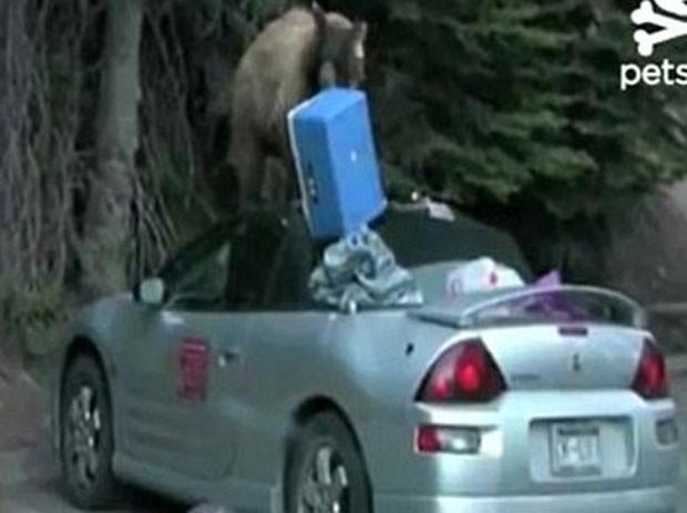 Animal deve ter sido atraído pelo cheiro da comida que estava no veículo. (Foto: Reprodução)