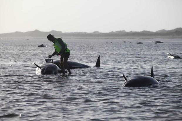 Funcionário do Departamento de Conservação tenta ajudar uma baleia encalhada em Golden Bay, na Nova Zelândia  (Foto: AP Photo/New Zealand Herald/Tim Cuff)