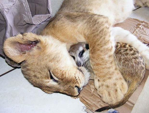 Leoa e suricato dormem abraçados em parque de Sun City, na África do Sul. (Foto: Matthew Tabaccos/Barcroft Media/Getty Images)